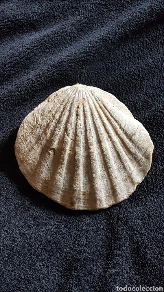MAGNIFICO FÓSIL PECTEN DOS CARAS (Coleccionismo - Fósiles)