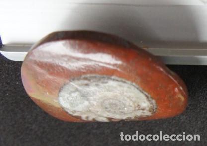 Coleccionismo de fósiles: Ammonites Pulido (Marruecos) - Foto 3 - 159310622