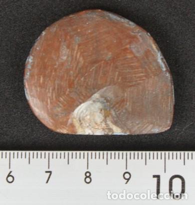 Coleccionismo de fósiles: Ammonites Pulido (Marruecos) - Foto 2 - 175639734