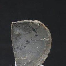 Coleccionismo de fósiles: AMONITA APTYCHUS (JURÁSICO SUPERIOR (152.1-157.3 MILLONES DE AÑOS) BIEN PREPARADA.. Lote 262438075