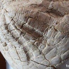 Coleccionismo de fósiles: FOSIL DE ERIZO CLYPEASTER SCILLAE. MIOCENO. SUR DE EUROPA. GIGANTE. NATURAL CON MATRIZ.. Lote 160569262