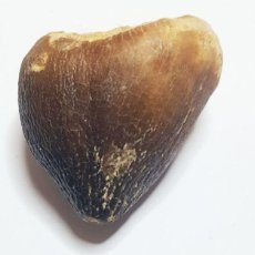 Coleccionismo de fósiles: ESPECTACULAR DIENTE DE UN MOSASURIO , CRETÁCICO SUPERIOR - INN. Lote 201996543
