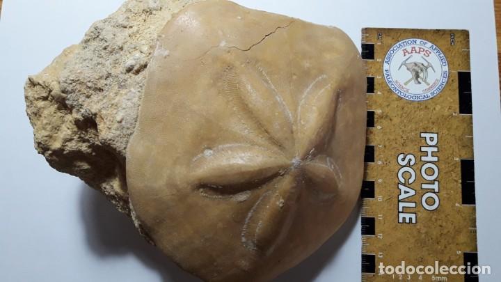 Coleccionismo de fósiles: FOSIL DE ERIZO CLYPEASTER PALACAENSIS . MIOCENO. PORTUGAL. - Foto 2 - 161237738