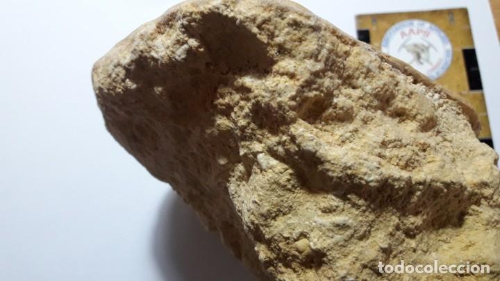 Coleccionismo de fósiles: FOSIL DE ERIZO CLYPEASTER PALACAENSIS . MIOCENO. PORTUGAL. - Foto 7 - 161237738
