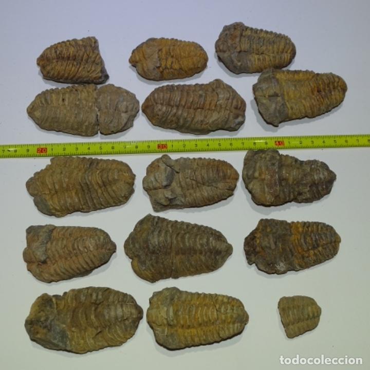15 FÓSILES TRILOBITE (Coleccionismo - Fósiles)