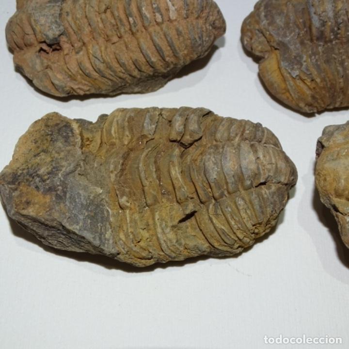 Coleccionismo de fósiles: 15 fósiles trilobite - Foto 2 - 166061270