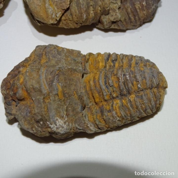 Coleccionismo de fósiles: 15 fósiles trilobite - Foto 5 - 166061270