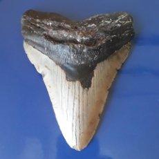 Coleccionismo de fósiles: ENORME DIENTE FÓSIL DE TIBURÓN MEGALODÓN. 14,60 CM. PESCA. BUCEO. + DIENTE DE TIBURON ACTUAL. Lote 166523626