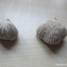 Coleccionismo de fósiles: DOS CONCHAS MARINAS FÓSILES VER DESCRIPCIÓN . Lote 166541534