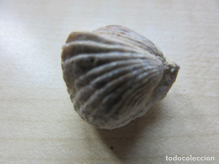 Coleccionismo de fósiles: Dos conchas marinas fósiles Ver descripción - Foto 6 - 166541534