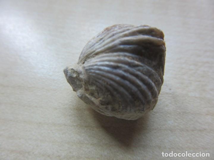 Coleccionismo de fósiles: Dos conchas marinas fósiles Ver descripción - Foto 7 - 166541534