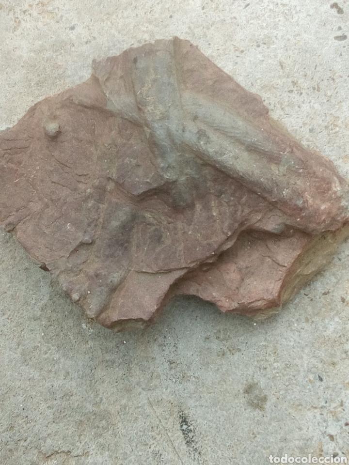 Coleccionismo de fósiles: Fósil grande cruziana - Foto 2 - 167943413