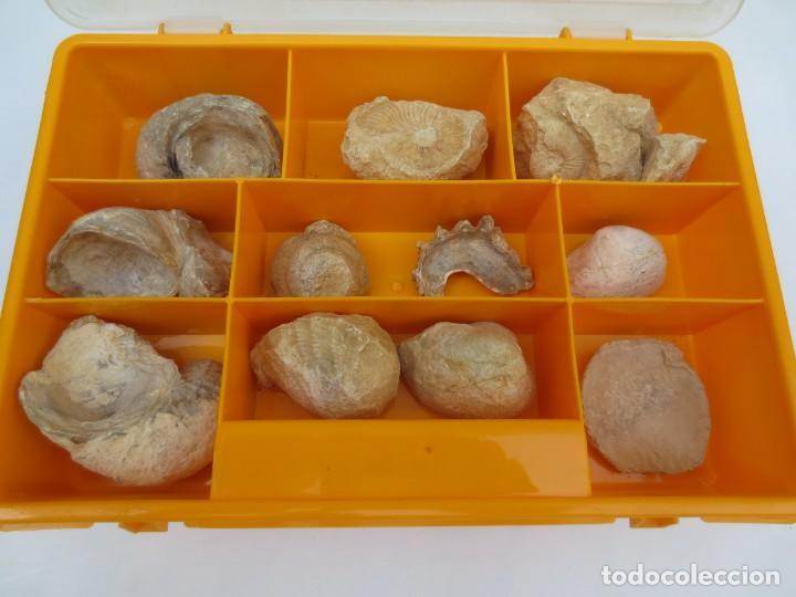 CAJA CON 12 FÓSILES. (Coleccionismo - Fósiles)