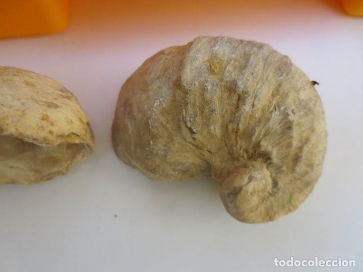 Coleccionismo de fósiles: CAJA CON 12 FÓSILES. - Foto 4 - 168075116