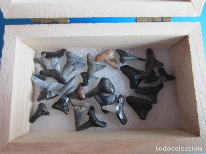 25 DIENTES PEQUEÑOS DE MEGALODON.TIBURÓN CON VARIOS MILLONES DE AÑOS.EN CAJA DE MADERA PARA REGALO-5 (Coleccionismo - Fósiles)