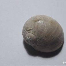 Coleccionismo de fósiles: FOSIL DE GASTEROPODO NATICARIUS TIGRINA. PLIOCENO. EUROPA.. Lote 170210620