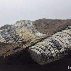 Coleccionismo de fósiles: FOSIL DE CEFALOPODOS ORTHOCERAS. DEVONICO. MARRUECOS.. Lote 171266209