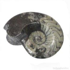 Coleccionismo de fósiles: ESPECTACULAR GONIATITES DE 65 MM, PULIDA Y PRESERVADA. Lote 171763392