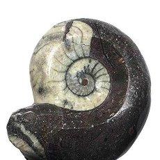 Coleccionismo de fósiles: ESPECTACULAR GONIATITES DE 75 MM, SUPERFICIE PULIDA Y PRESERVADA, ERFOUD, NORTE DE AFRICA- INN -AB. Lote 171766082