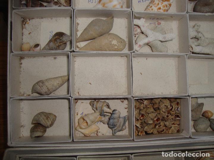 Coleccionismo de fósiles: BONITA COLECCION DE FOSILES Y MINERALES CON NOMBRES Y FECHADOS AÑOS 30 VER FOTOS - Foto 13 - 171883303