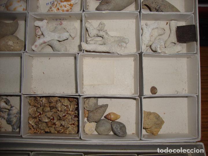 Coleccionismo de fósiles: BONITA COLECCION DE FOSILES Y MINERALES CON NOMBRES Y FECHADOS AÑOS 30 VER FOTOS - Foto 14 - 171883303