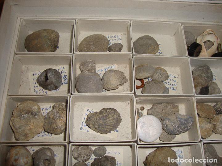 Coleccionismo de fósiles: BONITA COLECCION DE FOSILES Y MINERALES CON NOMBRES Y FECHADOS AÑOS 30 VER FOTOS - Foto 15 - 171883303