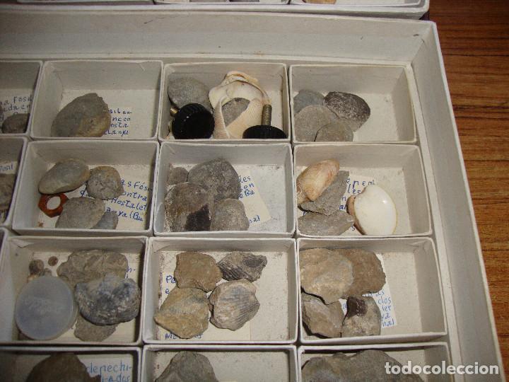 Coleccionismo de fósiles: BONITA COLECCION DE FOSILES Y MINERALES CON NOMBRES Y FECHADOS AÑOS 30 VER FOTOS - Foto 16 - 171883303