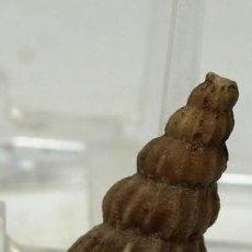 Coleccionismo de fósiles: FÓSIL DE GASTERÓPODO, CRETÁCICO, PERFECTO ESTADO.. Lote 172080490