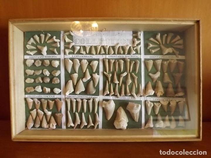 COLECCIÓN DE 134 FÓSILES DIENTES DE DIFERENTES ESPECIES DE TIBURONES (Coleccionismo - Fósiles)