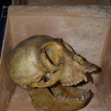 Coleccionismo de fósiles: ANTIGUO CRÁNEO DE MONO - CALAVERA DE SIMIO - AMAZONIA-AMULETO-TALISMA-. Lote 172091217