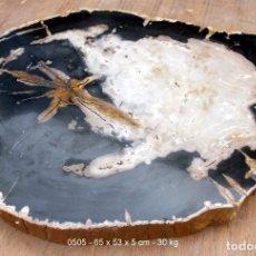 Coleccionismo de fósiles: MARAVILLOSA PLACA DE TABLA - MADERA FOSIL ( XILOPALO ) - 65 CM. Lote 172158919