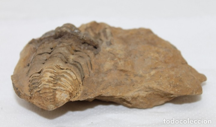 Coleccionismo de fósiles: FÓSIL Tribolite Neseuretus tristani - Foto 4 - 172166224