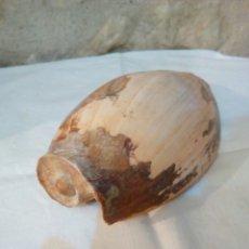 Coleccionismo de fósiles: ANTIGUA CARACOLA DE MAR GRANDE. Lote 172901742