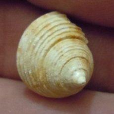 Coleccionismo de fósiles: GASTERÓPODOS-GLANS MATHERONI-MIOCENO AQUITANIENSE-LÉOGEATS-FRANCIA K-606. Lote 173221920