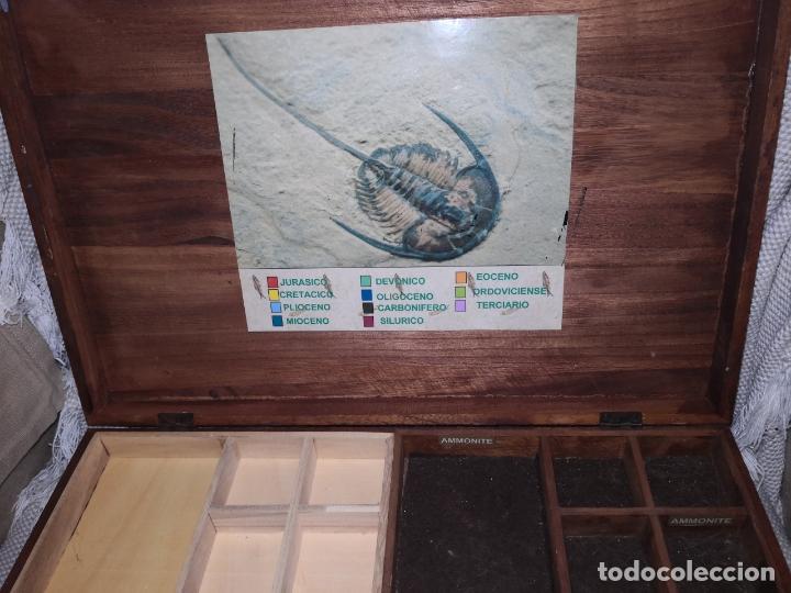 Coleccionismo de fósiles: ANTIGUA CAJA DE MADERA CON DOS NIVELES DE UN COLECCIONISTA DE FOSILES Y MINERALES - Foto 4 - 174549709