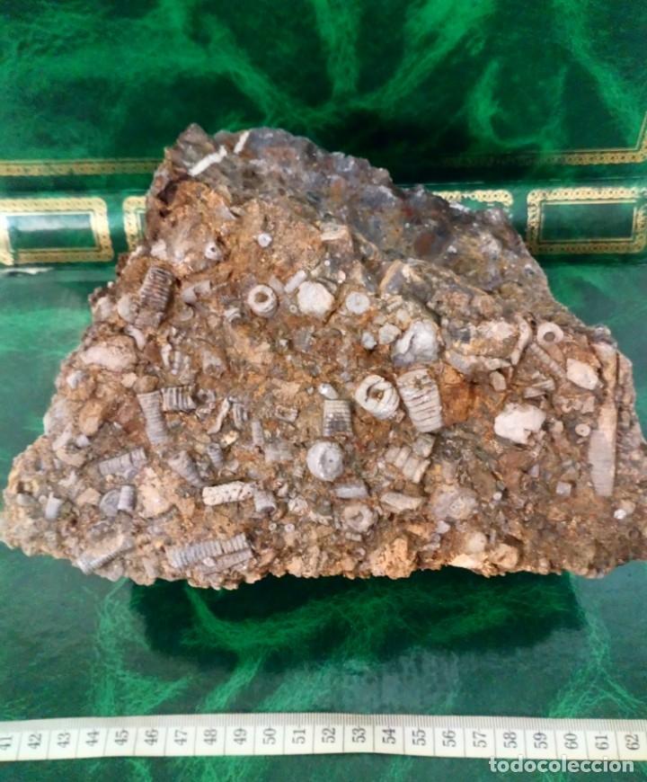 TALLOS DE CRINOIDEOS (Coleccionismo - Fósiles)