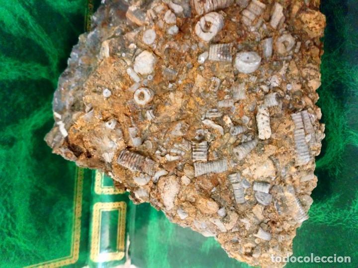 Coleccionismo de fósiles: Tallos de crinoideos - Foto 3 - 175330073
