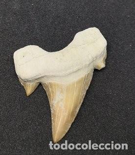 DIENTE DE TIBURÓN GRANDE (Coleccionismo - Fósiles)