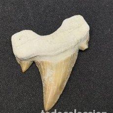 Coleccionismo de fósiles: DIENTE DE TIBURÓN GRANDE. Lote 177239917
