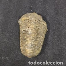 Coleccionismo de fósiles: TRILOBITE. Lote 177248673