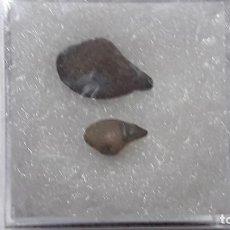 Coleccionismo de fósiles: FOSIL DE BIVALVO NUCULANA LACRYMA . JURASICO ALEMANIA.. Lote 177607360