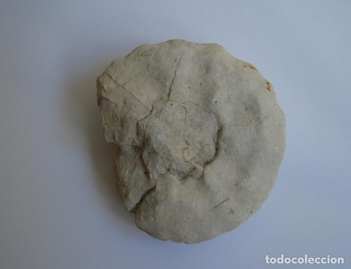 Coleccionismo de fósiles: FÓSIL DE PIEDRA DE CARACOLA - Foto 3 - 177729240