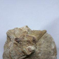 Coleccionismo de fósiles: DIENTE DE TIBURON FOSILIZADO. Lote 177476048