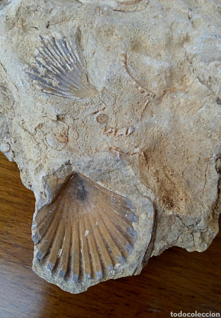 Coleccionismo de fósiles: Fosil piedra de conchas. - Foto 2 - 179017241