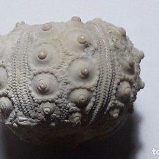 Coleccionismo de fósiles: FOSIL DE ERIZO STEREOCIDARIS CENOMANIENSIS, CRETACICO. SUR DE EUROPA.. Lote 179328798