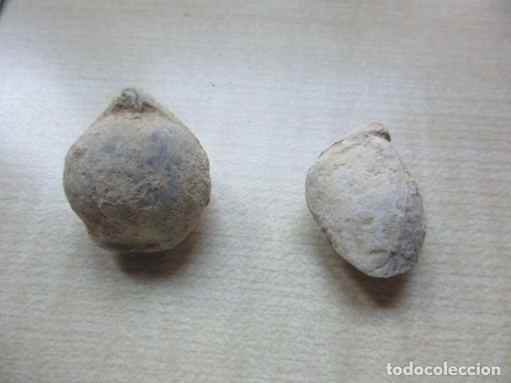 DOS CONCHAS MARINAS FÓSILES VER DESCRIPCIÓN (Coleccionismo - Fósiles)