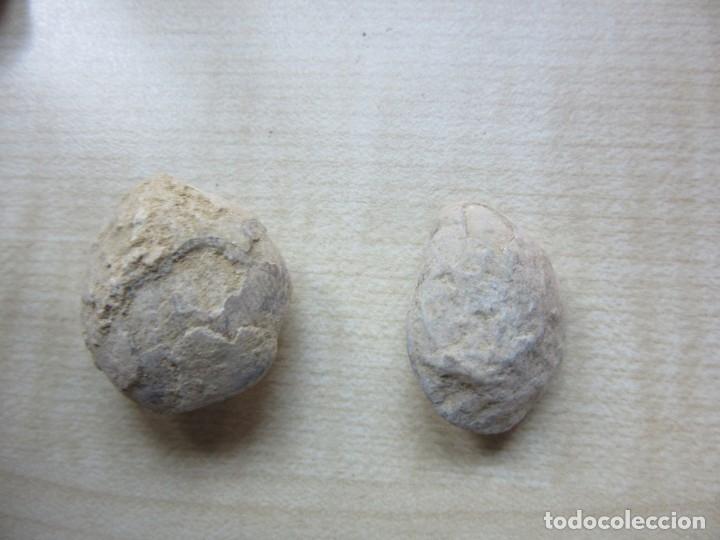 Coleccionismo de fósiles: Dos conchas marinas fósiles Ver descripción - Foto 4 - 181584216