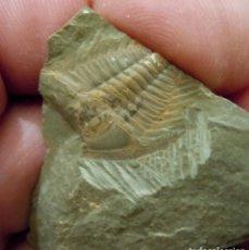 Collectionnisme de fossiles: TRILOBITES-REDLICHIA MAI-CÁMBRICO-SHANDONG-CHINA K-240. Lote 182012095
