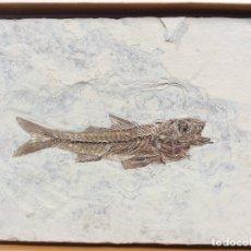 Coleccionismo de fósiles: PEZ FOSIL DAPALIS MACRURUS - 35 MILLONES DE ANTIGUEDAD - CON CERTIFICADO DE AUTENTICIDAD. Lote 182258547