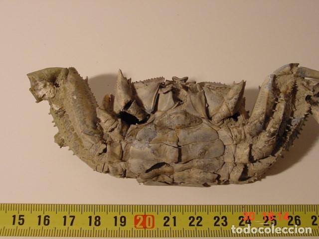 Coleccionismo de fósiles: CANGREJO FOSIL MACROPTHALMUS LATRIELLI. PLEISTOCENO. TOWNSVILLE, QUEENSLAND, AUSTRALIA - Foto 6 - 111627655